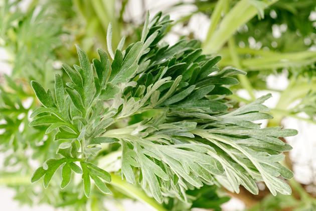 Allergia All Artemisia Sintomi E Cure Allergia E Salute Forumsalute It